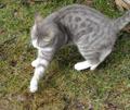 Chat jouant avec une souris.png