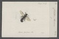 Chelostoma - Print - Iconographia Zoologica - Special Collections University of Amsterdam - UBAINV0274 045 07 0014.tif