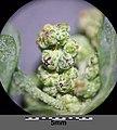 Chenopodium vulvaria sl43.jpg