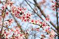 Cherry-2 (7029488009).jpg