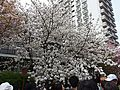 """Cherry-Blossom-Viewing through the """"Tunnel"""" at Japan Mint in 201504 014.JPG"""