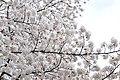 Cherry blossom near Zenpukuji river, Tokyo; March 2008 (07).jpg