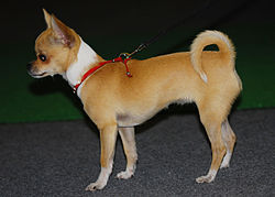 Chihuahua 01 K.jpg