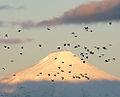 Choroys y volcan Villarrica - Flickr - rgamper.jpg