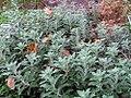 Chrysanthemum pacificum 0zz.jpg
