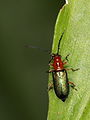 Chrysomelidae indet. from W-Java (6282943094).jpg