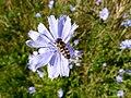 Cichorium intybus and Scaeva pyrastri - Chicory flower with landed hoverfly - Wegwarte mit Schwebfliege 02.jpg