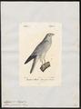 Circus cyaneus - 1842-1848 - Print - Iconographia Zoologica - Special Collections University of Amsterdam - UBA01 IZ18300217.tif