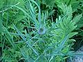 Cirsium vulgare, Whitefish Island.JPG
