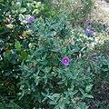 Cistus albidus-Ciste blanc-20160609.jpg