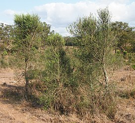 Citrus glauca bushes.jpg