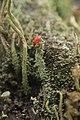 Cladonia sp. (38510289514).jpg