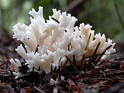 Clavulina cristata.jpg