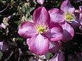 "Clematis montana ""rubens"" flower 2.JPG"