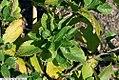 Clethra alnifolia 26zz.jpg