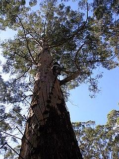 <i>Eucalyptus diversicolor</i> species of plant