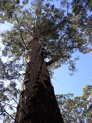 Eucalyptus diversicolor - Climbing a famous karri tree - the Gloucester Tree