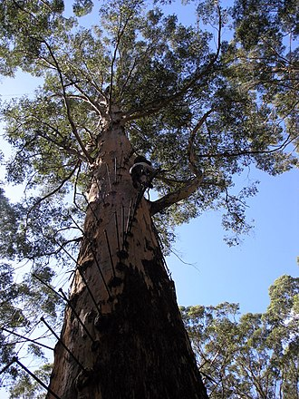 Eucalyptus diversicolor - the Gloucester Tree