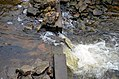 Climbing Chinook Salmon (15419560541).jpg