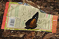 Clipper butterfly - ON - TRASH.jpg