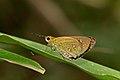 Close wing position Basking of Scobura isota (Swinhoe, 1893) – Khasi Forest Bob WLB DSC 3111.jpg
