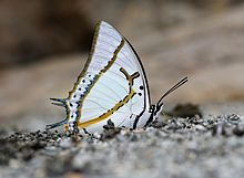 Close wing position of Charaxes eudamippus Doubleday, 1843 – Great Nawab.jpg