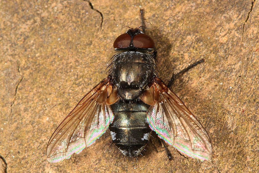 Cluster Fly - Pollenia species?, Julie Metz Wetlands, Woodbridge, Virginia