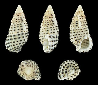 <i>Clypeomorus bifasciata</i> species of mollusc