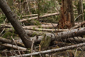 Large woody debris - Wind-felled trees are a source of large woody debris.