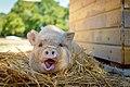 Cochon recueilli par le Refuge GroinGroin, dans de la paille - Photo de Amélie Buellet.jpg