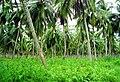 Coconut trees (7).JPG