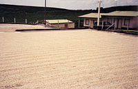 Coffee Drying on concrete Patio.jpg