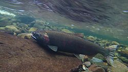 Coho Spawning on the Salmon River (15713939394).jpg