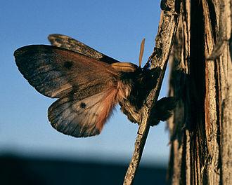 Pandora moth - Image: Coloradia pandora adult
