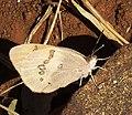 Colotis annae subsp annae, ondervlerk, Voortrekkerbad.jpg