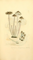 Coloured Figures of English Fungi or Mushrooms - t. 222.png