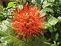 Combretum constrictum - Powderpuff Combretum 2014 (14).jpg