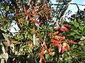 Combretum kraussii, winterblare, b, Louwsburg.jpg