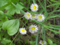 Common-Fleabane (4709088825).png
