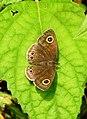 Common Four-ring Ypthima huebneri by Dr. Raju Kasambe DSCN7802 (10).jpg
