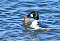 Common Goldeneye with Northern Crayfish on Seedskadee NWR (24188167270).jpg