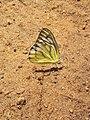 Common Gull Butterfly .jpg