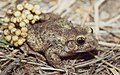 Common Midwife Toad (Alytes obstetricans) male carrying eggs ... (43973020765).jpg