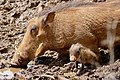 Common Warthogs (Phacochoerus africanus) female with piglet coming to drink ... (50112314586).jpg