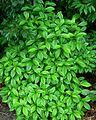 Common Wild Coffee (1003024456).jpg