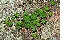 Common Wood Sorrel (Oxalis acetosella) - Oslo, Norway 2020-08-24 (01).jpg