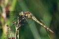 Common darter dragonfly (Sympetrum striolatum) female yellow abdomen and blue pterostigma.jpg