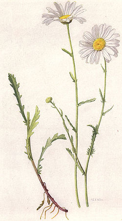 Common or Ox-eye Daisy (NGM XXXI p512).jpg