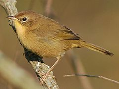 Common yellowthroat female.jpg