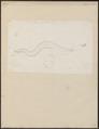 Conger vulgaris - 1774-1804 - Print - Iconographia Zoologica - Special Collections University of Amsterdam - UBA01 IZ15200022.tif